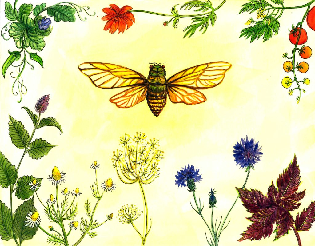 Illustration of a cicada by Frances Cannon.