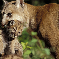 Susan Morse presents COMING SOON: THE COUGAR RETURNS TO VERMONT